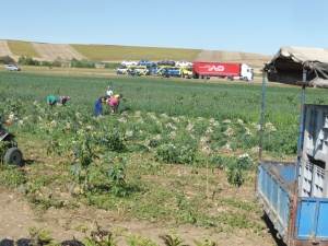 That is a field of onions being picked and for Garner: that is a BIG RED TRUCK