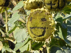 A sunflower happy face done by pilgrams