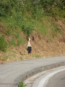 This guy is the first stork that we have seen actually walking the Camino!