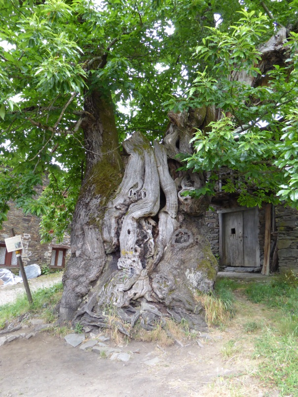 Ancient chestnut tree. How ancient who knows, the sign didn't say! Interesting that chestnuts are not just for human consumption but for animal fodder as well.