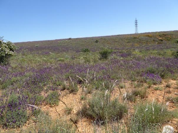 Lavender, lavender.... Everywhere!