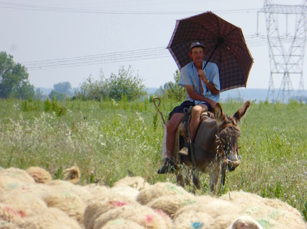 been waiting to post this one: - a Camino Classic. Just before the town of Mazarife.  This shepherd, along with